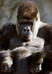 MASSIVE SILVERBACK GORILLA KNOWN AS KIBABU SITS IN ENCLOSURE AT SYDNEY'S TARONGA ZOO.