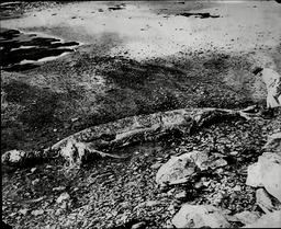 Carcass Of A Strange 25ft 'sea Monster' Found Near Cherbourg.